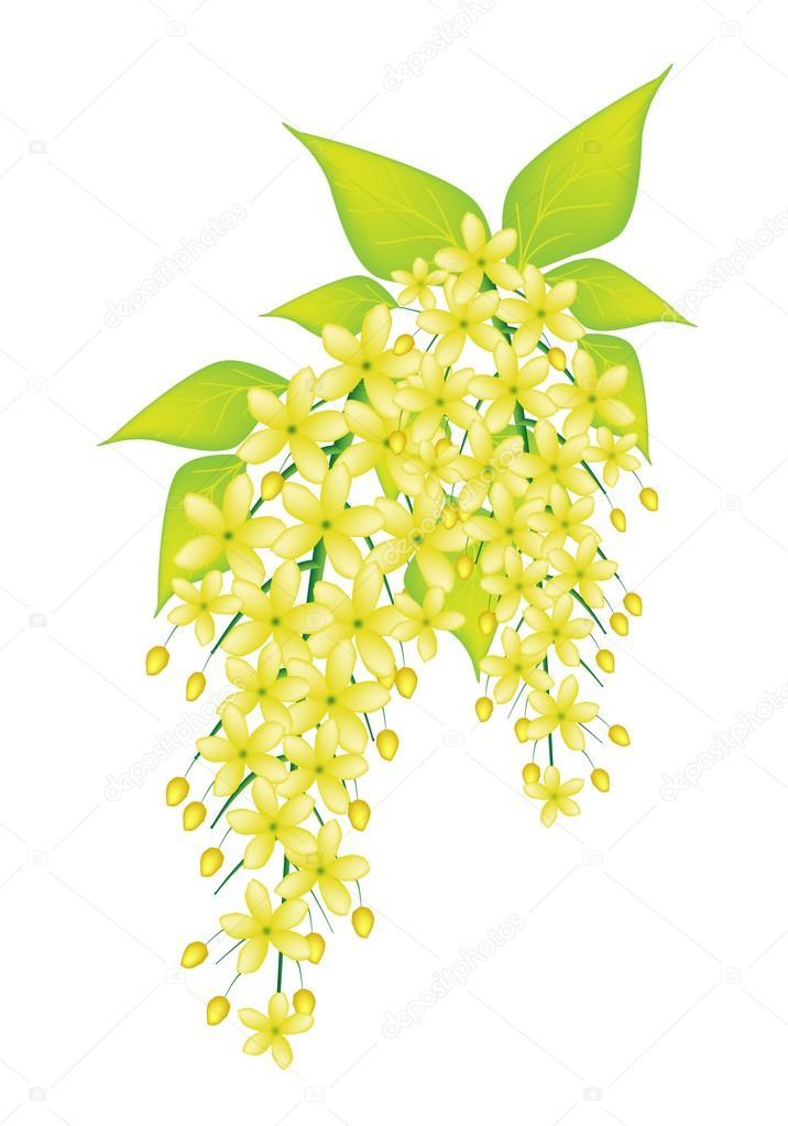 Beautiful Cassia Fistula Flower Isolated on White Background