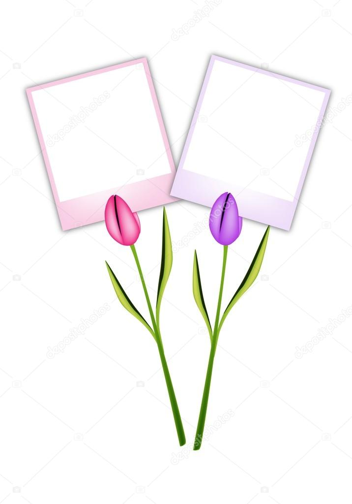 Two Beautiful Tulip Flowers with Blank Photos