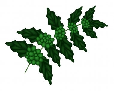 An Illustration of Unripe Coffee Berries on Branch