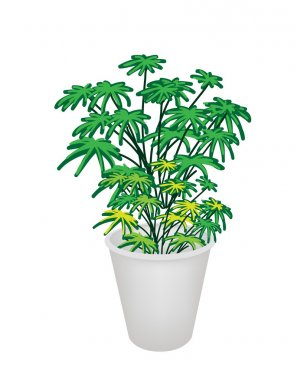 Illustration of Evergreen Plant in Flower Pot