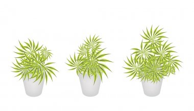 Beautiful Yucca Trees in Three Flower Pot