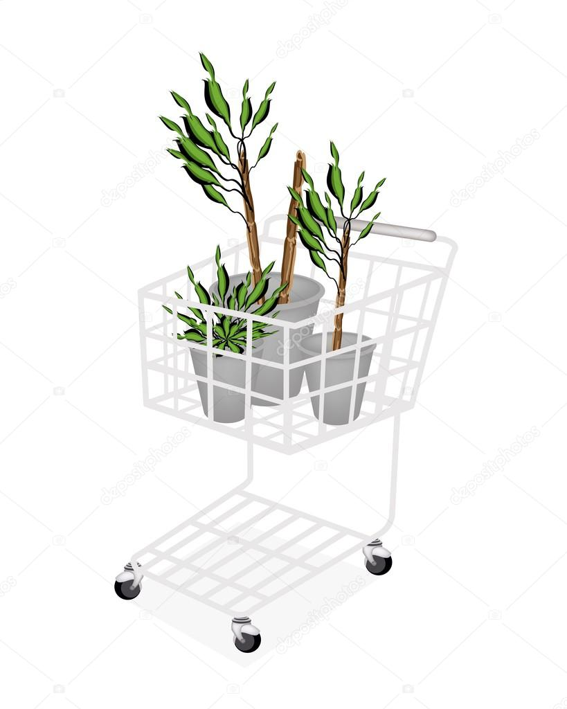 Yucca Trees or Dracaena Plants in A Shopping Cart