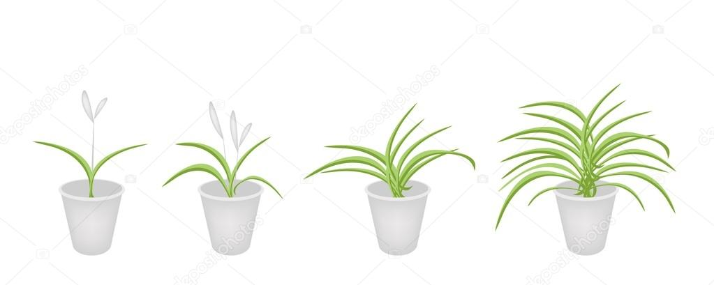 A Set of Dracaena Plant in Flower Pots