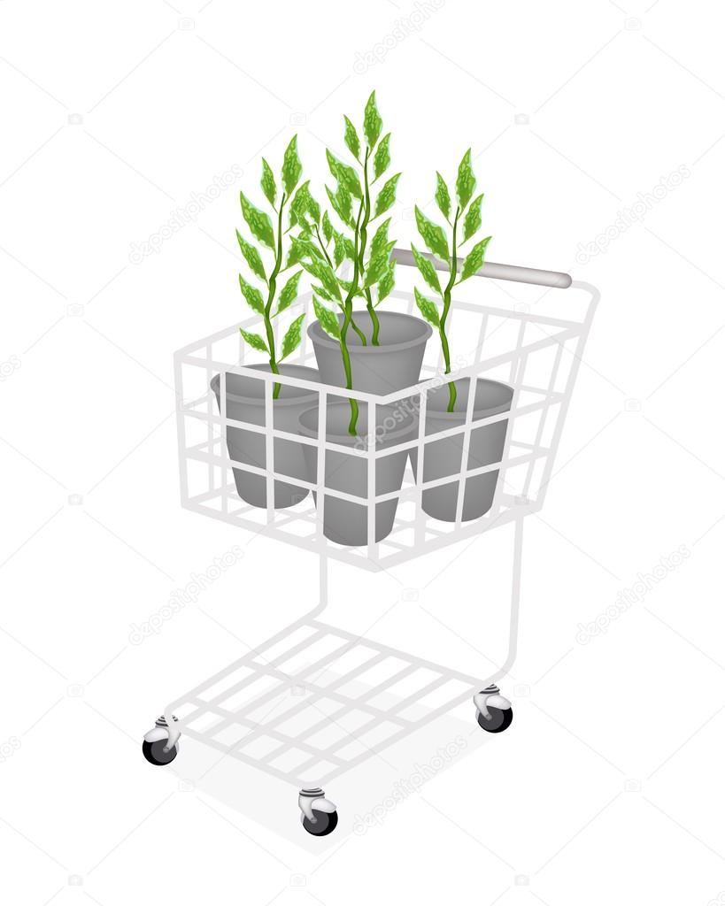 Set of Pedilanthus Tithymaloides in A Shopping Cart