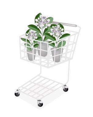 Fresh Calotropis Gigantea in A Shopping Cart
