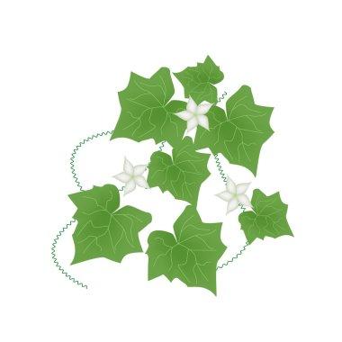 Fresh Green Ivy Gourd on White Background