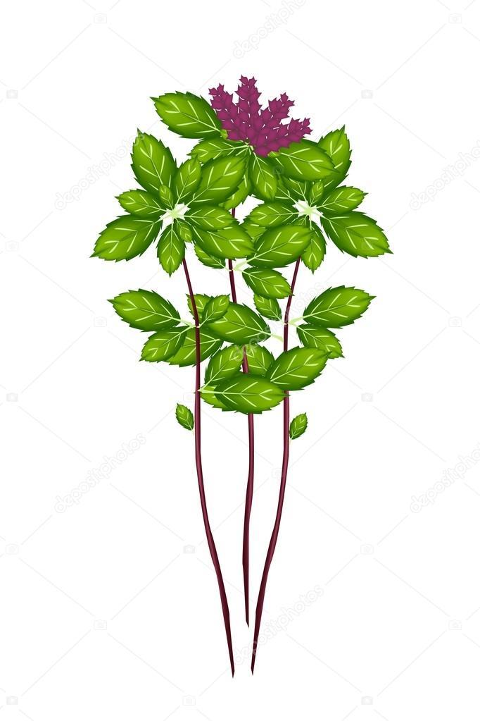 Thai Basil Plant on A White Background