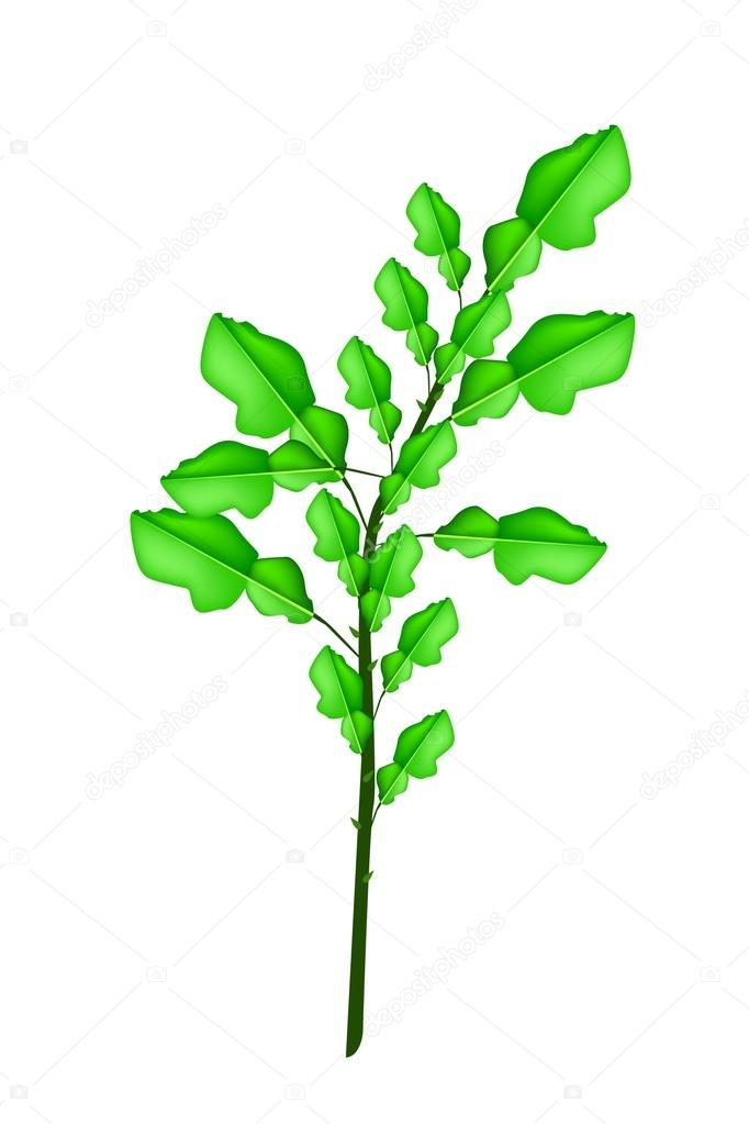 A Fresh Kaffir Lime Plant on White Background