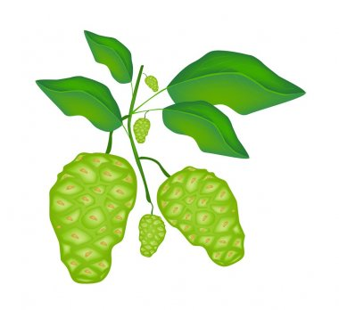 Green Noni or Morinda Citrifolia Fruit on A Tree