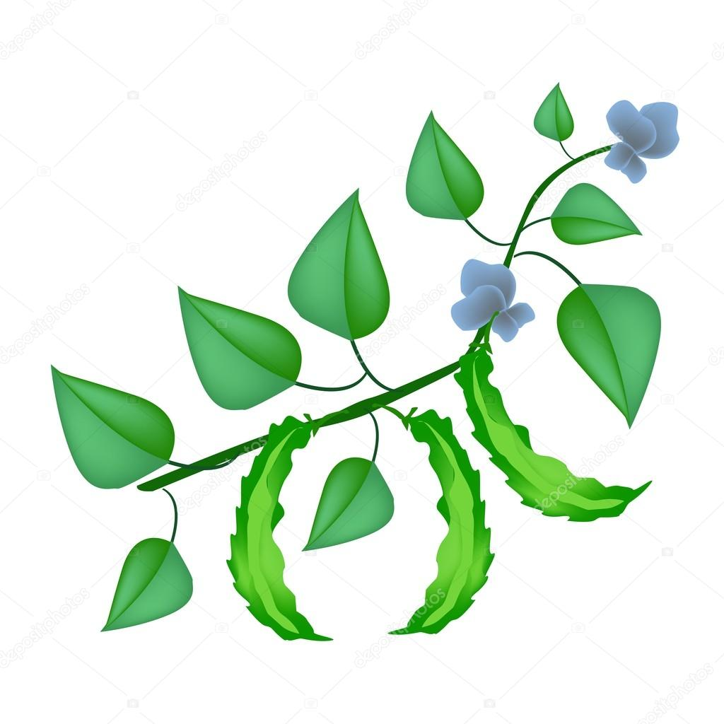 fresh green winged beans on a plant stock vector. Black Bedroom Furniture Sets. Home Design Ideas