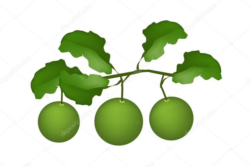 Three Fresh Limes Hanging on A Tree