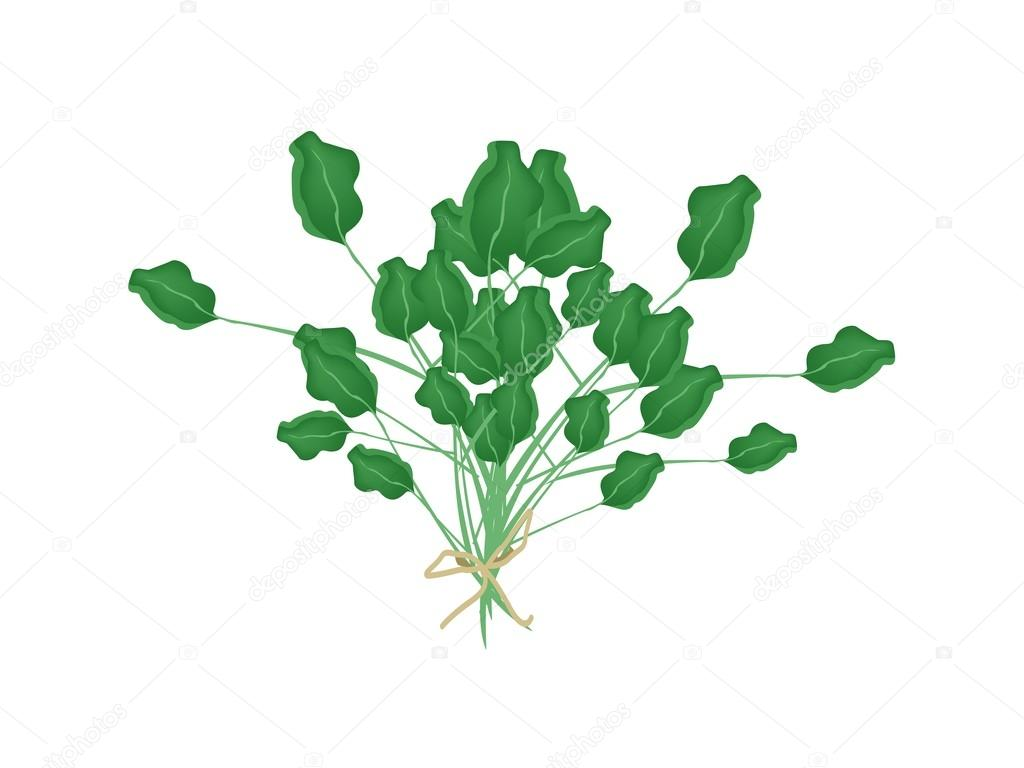 A Fresh Green Watercress on White Background