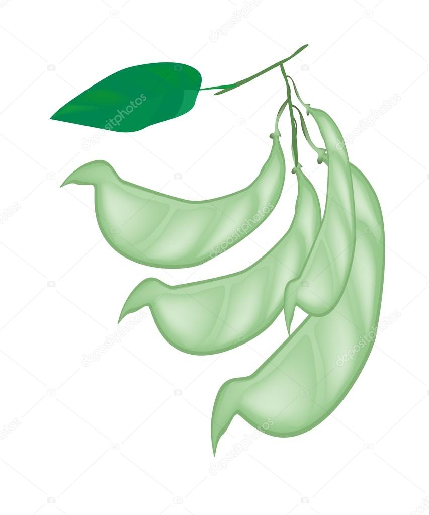 Fresh Hyacinth Bean Plant on White Background