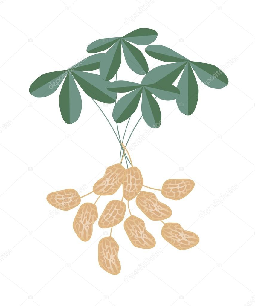 A Peanuts Plant on White Background