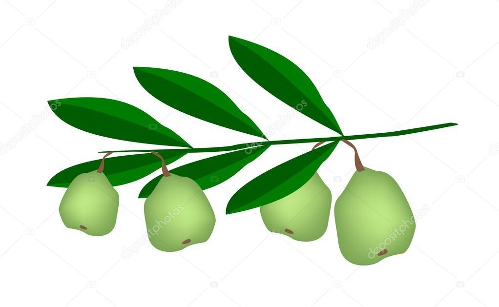 Fresh Green Unripe Walnuts on A Branch