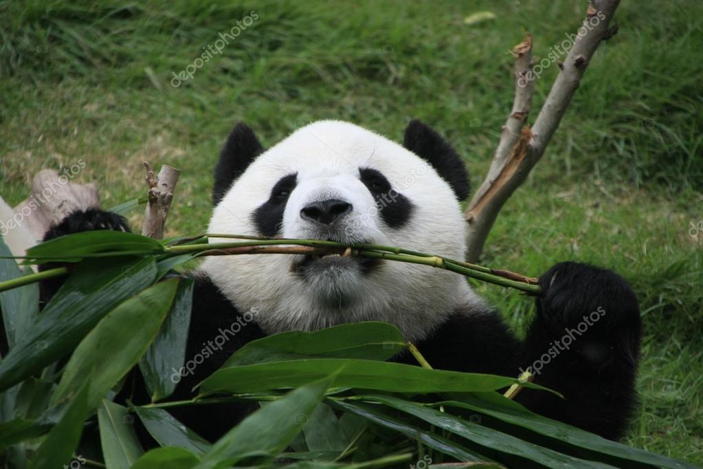 Portrat Von Giant Panda Bar Ailuropoda Melanoleuca Essen Bambus