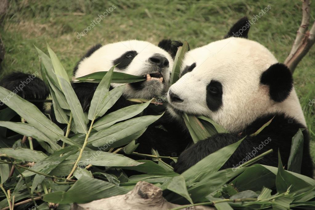 Grosser Panda Baren Essen Bambus Ailuropoda Melanoleuca China