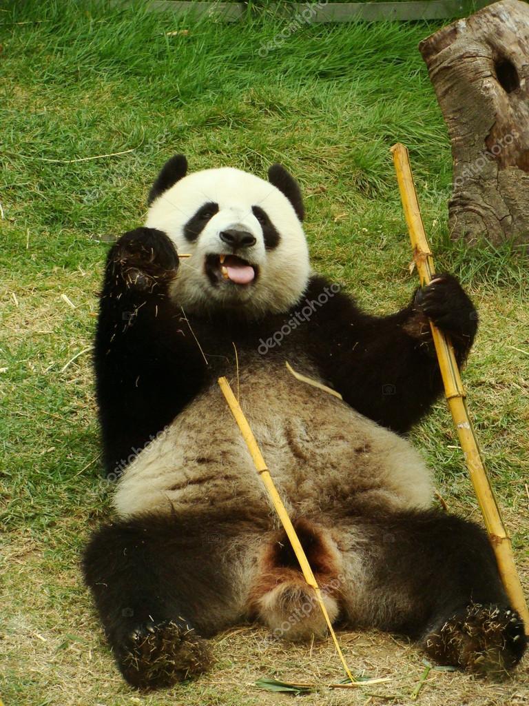 Giant Panda Bar Essen Bambus Ailuropoda Melanoleuca China