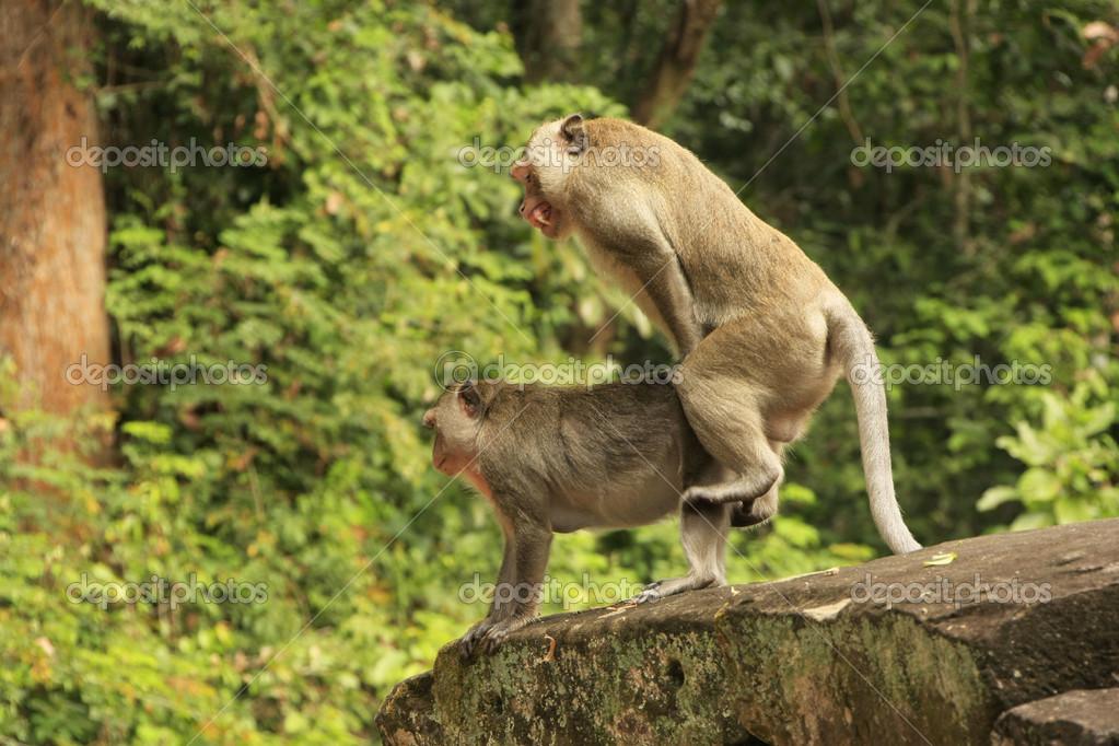 長い尾を持つ macaques、マカク属交配 — ストック写真