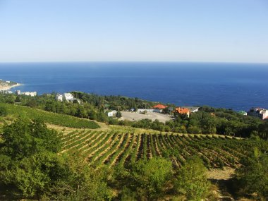 Grape vines at Crimea coast, Ukraine