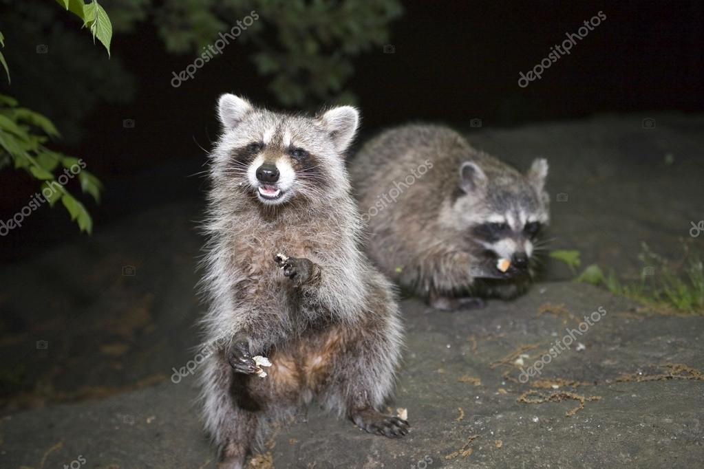 Raccoons in Central Park