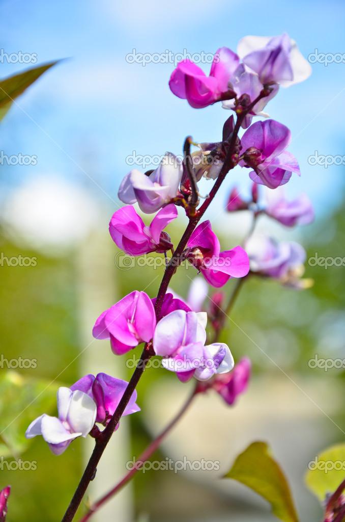 Flowering branch purple decorative  beans