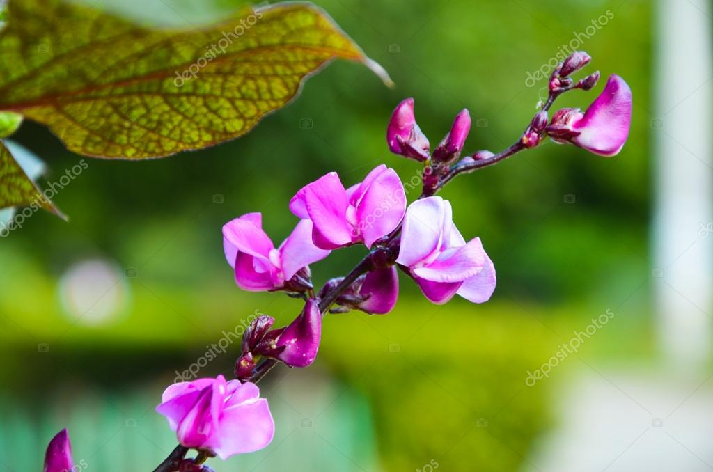 Flowering branch decorative purple beans