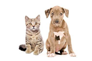 Kitten Scottish Straight and pitbull puppy