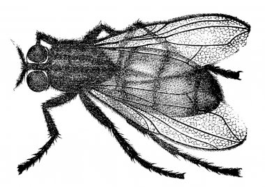 An old engraving shows the housefly (Musca domestica). The book