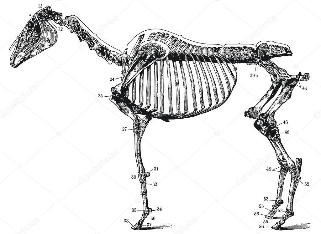 das Skelett eines Pferdes — Stockvektor © S_Kohl #13157796
