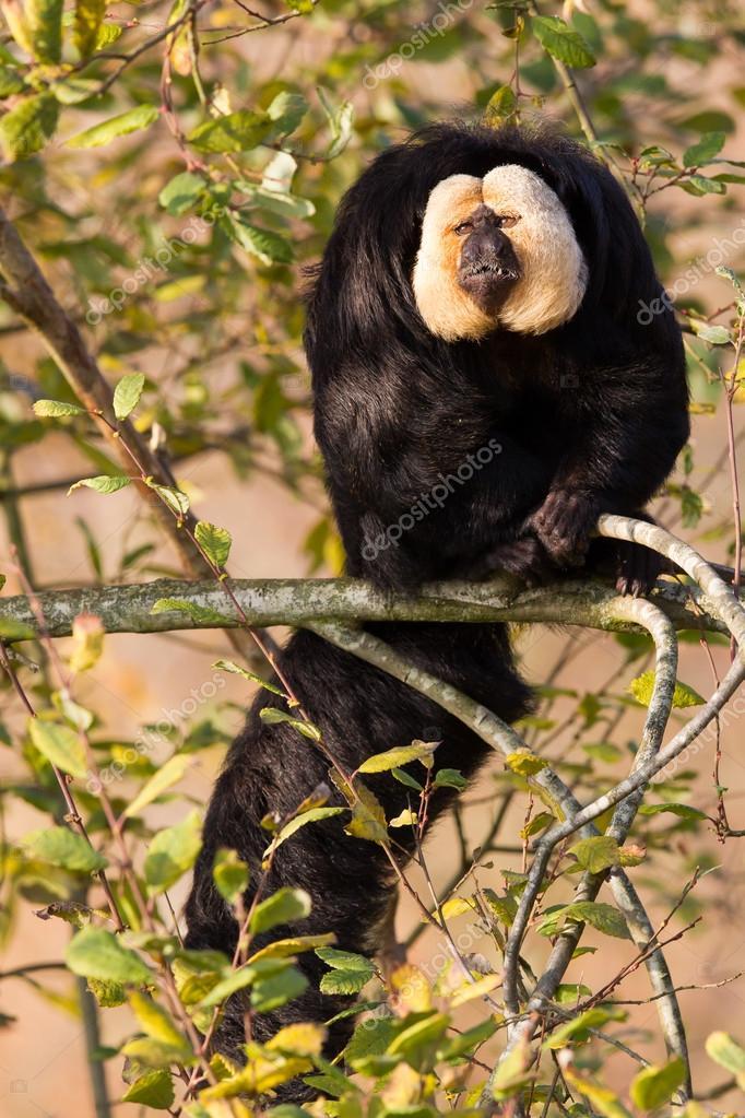 White-faced Saki (Pithecia pithecia) or also known as Golden-fac