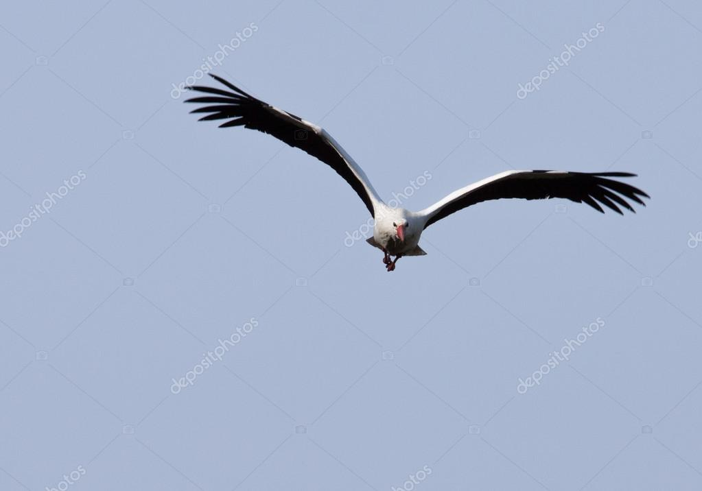 Stork flying towards the viewer