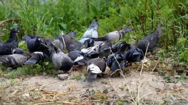 hejno holubů