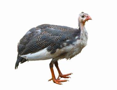 Guinea fowl or guinea hen