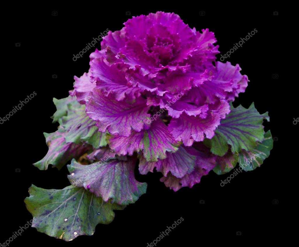 Kale vegetable ornamental