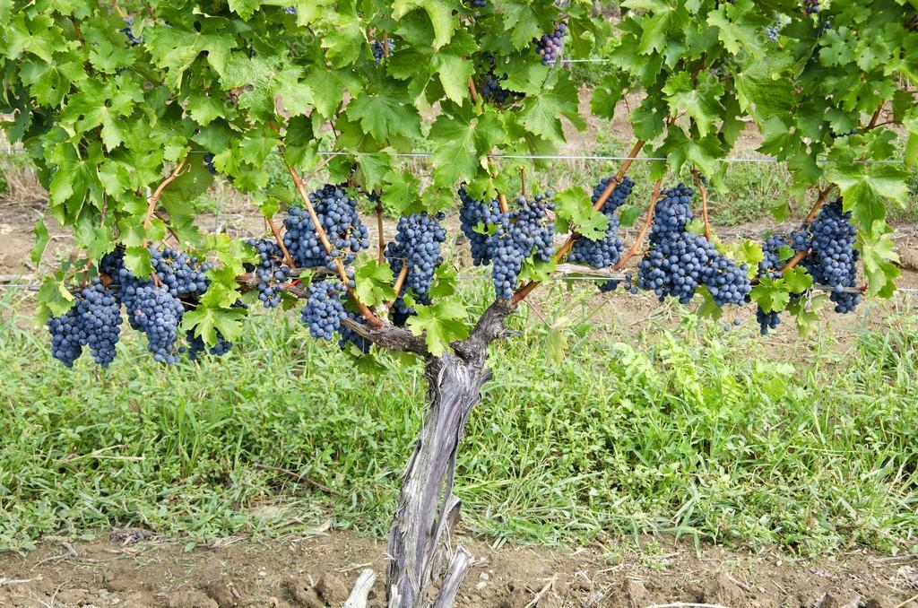 Cabernet Sauvignon Red Wine Grapes on the Vine — Stock Photo © chiyacat  #13138206