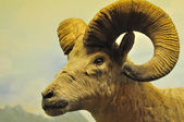 Das Porträt einer Ziege mit großen Hörnern.
