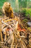 Photo beaver sitting on dam
