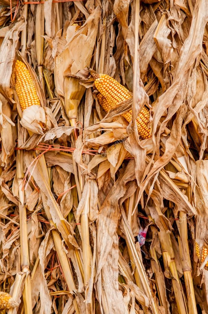 harvested corn stalk stacked up near fence