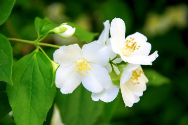 Jasmine (small white flower)