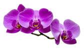 Fotografie fialová orchidej na bílém pozadí
