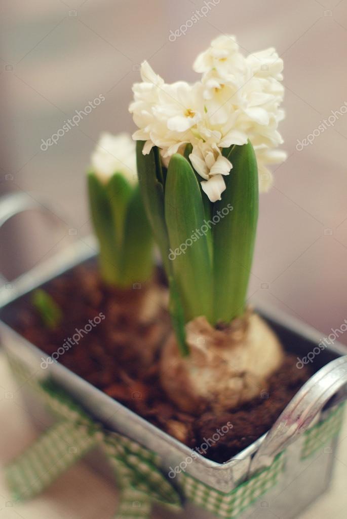 blühende weiße Hyazinthe Blumen in einem Eisentopf mit grünem Band ...