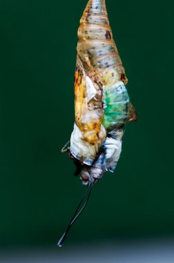 Eclosion butterfly chrysalis