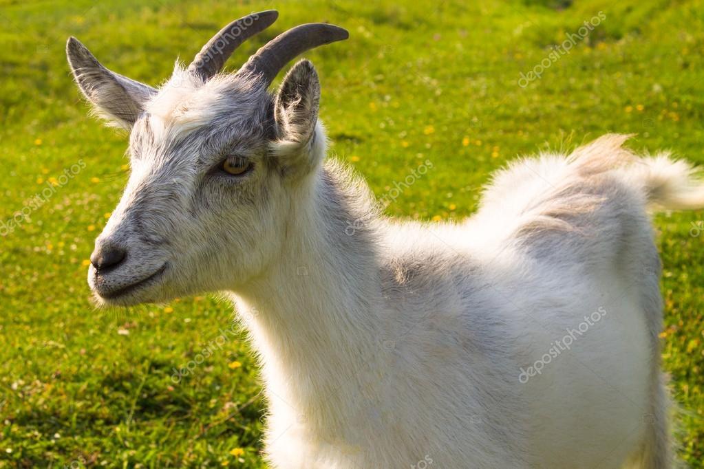 Small nanny goat