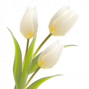 Tulip flower isolated over white.