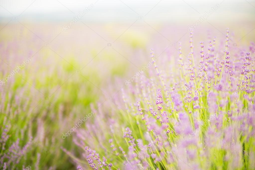 Lavender flower field.