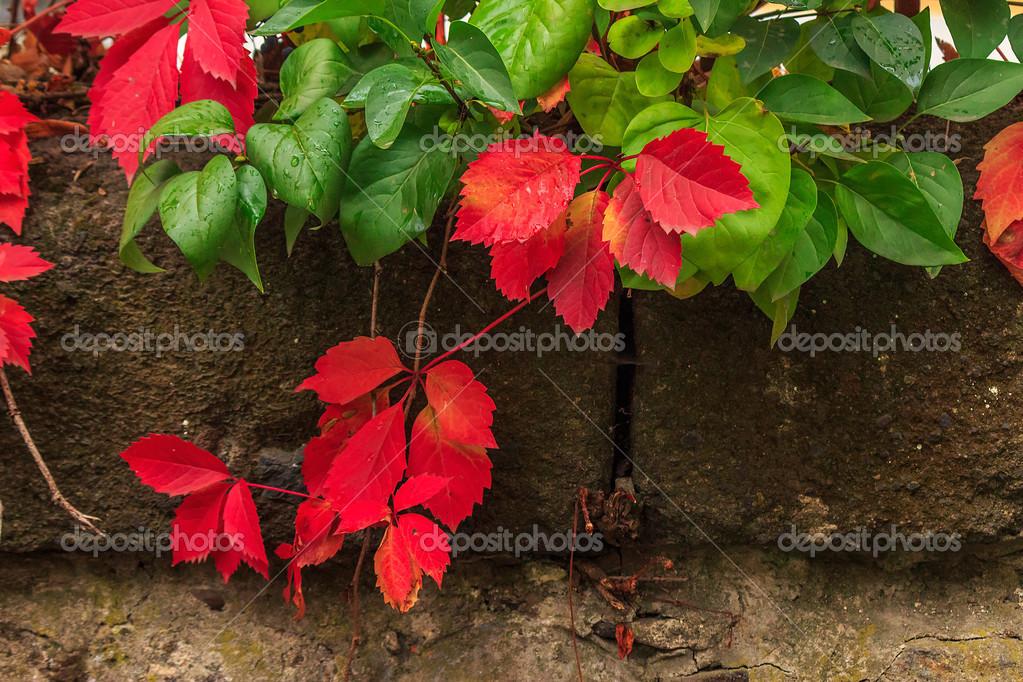 La plante avec des feuilles rouges et vertes sur le mur de pierre photographie pellinni - Plante a feuilles rouges ...