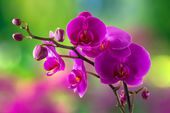purple orchid flower on blur background