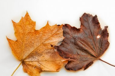Yellow and Brown Maple Leaves are Isolated on White