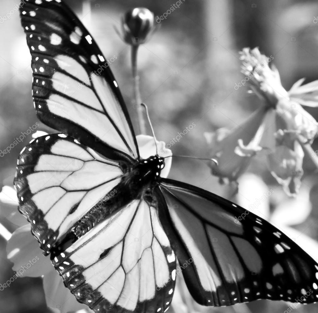 Im genes la mariposa monarca en blanco y negro migraci n mariposas monarca en blanco y negro - Fotos en blanco ...